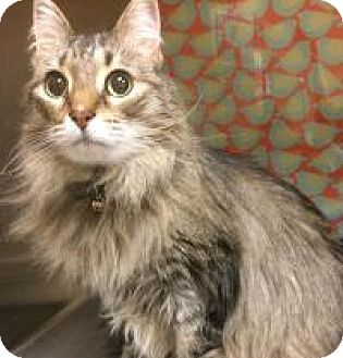 Domestic Mediumhair Cat for adoption in Worcester, Massachusetts - Riley