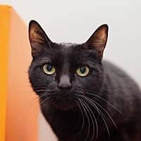 Domestic Shorthair/Domestic Shorthair Mix Cat for adoption in Mission Hills, California - Tabitha