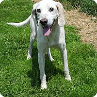 Hound (Unknown Type) Mix Dog for adoption in Staunton, Virginia - Brumble