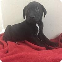 Adopt A Pet :: Blk lab pup - Pompton Lakes, NJ