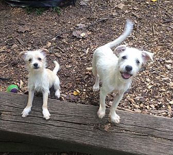 Terrier (Unknown Type, Small) Mix Puppy for adoption in Acworth, Georgia - Tennille