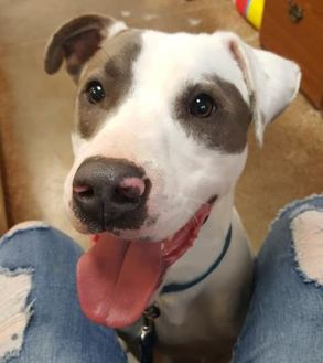 American Pit Bull Terrier Mix Dog for adoption in Brownwood, Texas - Iago
