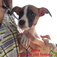 Boxer Mix Dog for adoption in Fairfax Station, Virginia - Remi (Zena)