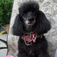 Adopt A Pet :: Kipper - St. Petersburg, FL