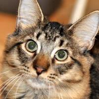 Domestic Longhair/Domestic Shorthair Mix Cat for adoption in Tilton, Illinois - Wiley
