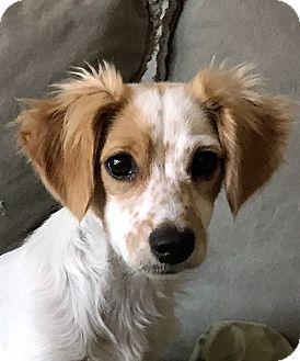 Papillon/Cavalier King Charles Spaniel Mix Puppy for adoption in Lake Forest, California - Lola