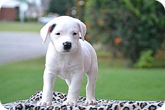 Labrador Retriever/Border Collie Mix Puppy for adoption in Hagerstown, Maryland - Tyrion