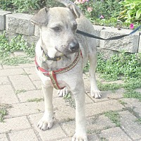Adopt A Pet :: Barrister - West Chicago, IL