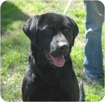 Labrador Retriever Dog for adoption in Tracy, California - Hurley