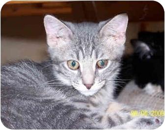 Domestic Shorthair Kitten for adoption in Overland Park, Kansas - Shelby