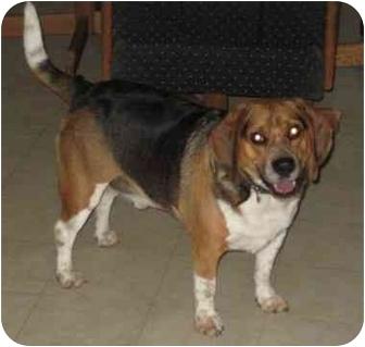 Beagle Dog for adoption in Columbus, Nebraska - Petie