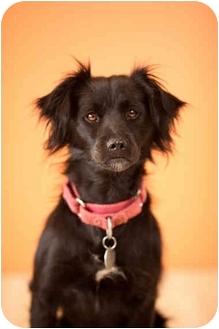 Spaniel (Unknown Type)/Border Collie Mix Dog for adoption in Portland, Oregon - Shadow