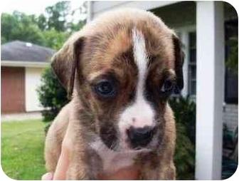 Boxer Mix Puppy for adoption in Seneca, South Carolina - PIPER