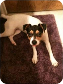 Jack Russell Terrier Puppy for adoption in Houston, Texas - ZaZa in Houston