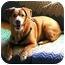 Photo 2 - Beagle/English Springer Spaniel Mix Dog for adoption in Portland, Oregon - Stacey
