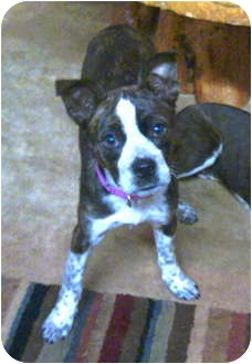 Boston Terrier Mix Puppy for adoption in Wakefield, Rhode Island - SKY and Hawk TN