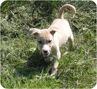 Shepherd (Unknown Type)/Collie Mix Puppy for adoption in Spring Valley, New York - Pickles