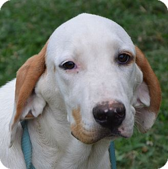 Hound (Unknown Type) Mix Dog for adoption in Beacon, New York - Willie - reduced fee $300
