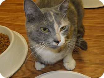 Domestic Shorthair Cat for adoption in Medina, Ohio - Pastel