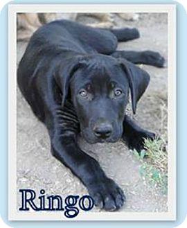 Mastiff/Labrador Retriever Mix Puppy for adoption in Salem, Oregon - Ringo