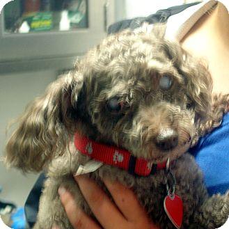 Toy Poodle Dog for adoption in Manassas, Virginia - Hershey