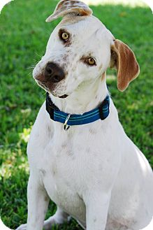 Pointer/Labrador Retriever Mix Dog for adoption in Torrance, California - Bess