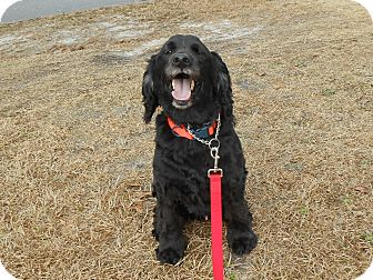 Spaniel (Unknown Type) Mix Dog for adoption in Wilmington, North Carolina - PIPER