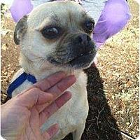 Adopt A Pet :: Amor - Poway, CA