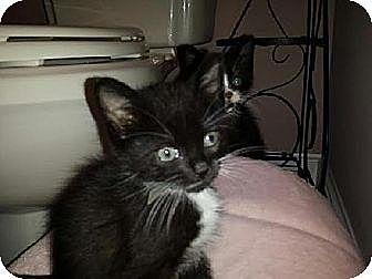 Domestic Shorthair Kitten for adoption in Whitestone, New York - Rodney