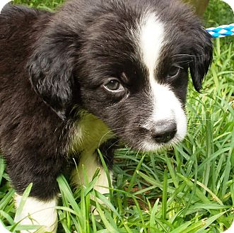 Border Collie/Labrador Retriever Mix Puppy for adoption in Allentown, New Jersey - Jody