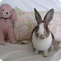 Adopt A Pet :: Cappachino - Warwick, NY