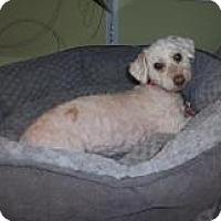 Adopt A Pet :: Princess Leah - Shawnee Mission, KS