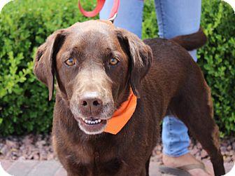 Labrador Retriever Dog for adoption in Las Vegas, Nevada - ROXY BEYONCE
