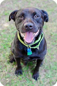 Labrador Retriever Mix Dog for adoption in Houston, Texas - Bojangles
