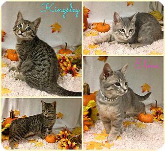Domestic Shorthair Kitten for adoption in Joliet, Illinois - Elena