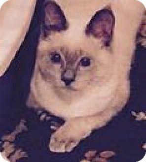 Siamese Kitten for adoption in Harriman, New York - Chloe