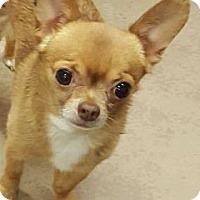 Adopt A Pet :: Dominic - Chicago, IL