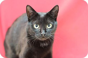 Domestic Shorthair Cat for adoption in Midland, Michigan - Mojo