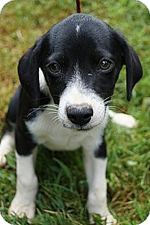 Chihuahua/Beagle Mix Puppy for adoption in Bridgeport, Connecticut - Pepper