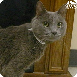 Domestic Shorthair Cat for adoption in West Kennebunk, Maine - Blue