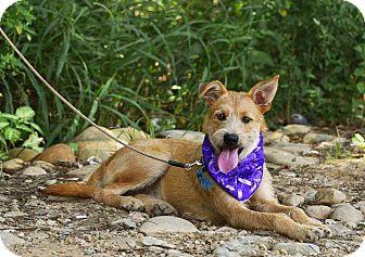 Terrier (Unknown Type, Medium)/Shepherd (Unknown Type) Mix Puppy for adoption in Sunnyvale, California - LuLu