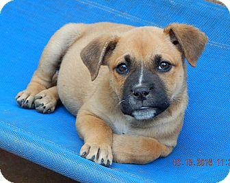 German Shepherd Dog/English Bulldog Mix Puppy for adoption in Burlington, Vermont - Whiskey(7 lb) New Pics & Video