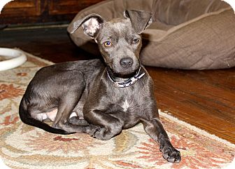 Chihuahua Mix Dog for adoption in Los Angeles, California - Celia - BLUE FUR!