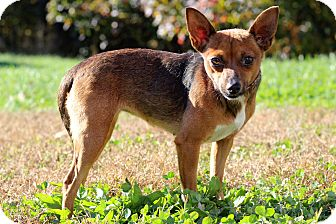 Chihuahua Mix Dog for adoption in Waldorf, Maryland - Short Stuff
