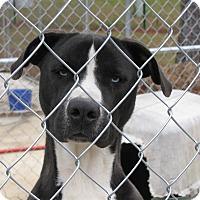Adopt A Pet :: Baloo - South Dennis, MA