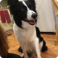 Border Collie Dog for adoption in Clarksville, Tennessee - Liam - URGENT!!!