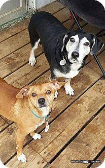 Beagle/Dachshund Mix Dog for adoption in Toronto, Ontario - SHOTGUN