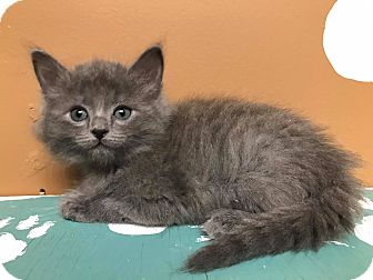 Domestic Longhair Kitten for adoption in Maryville, Missouri - T-Rex