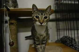 Domestic Shorthair Cat for adoption in Land O Lakes, Florida - Silver