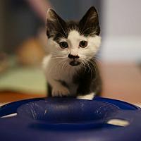 Adopt A Pet :: SEBASTIAN - Brea, CA